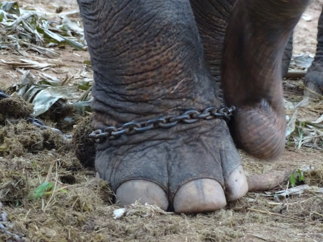 The Truth About Elephants in Thailand